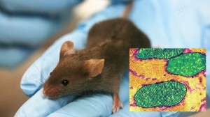 mouse_mitochondria_685