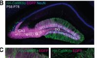 Beyin Nöronlarımızın Genetiğini Değiştirip Düzeltmenin Yolu Bulundu.